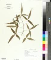Image of Searsia leptodictya
