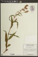 Image of Pelea glabra