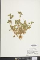 Lamium purpureum var. hybridum image
