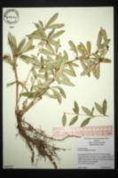 Image of Berberis julianiae