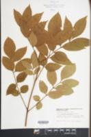 Fraxinus tomentosa image