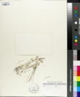 Sabulina brevifolia image
