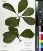 Magnolia x soulangiana image