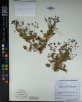 Erodium trifolium image