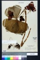 Trillium vaseyi image
