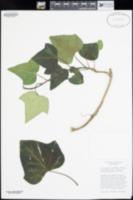 Image of Hedera algeriensis