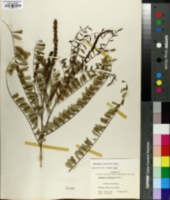 Image of Amorpha crenulata