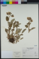 Phacelia bolanderi image