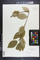 Prunus cerasus image