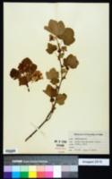 Ribes viscosissimum image
