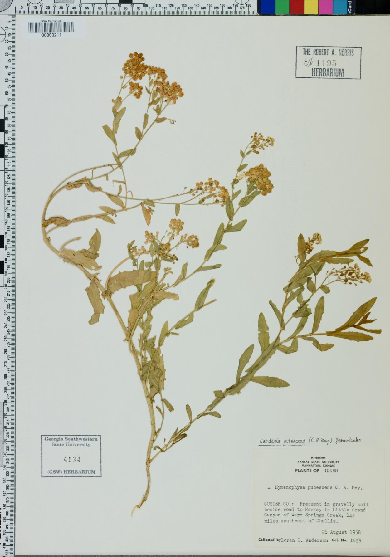 Cardaria pubescens image