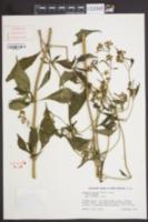 Image of Patrinia villosa