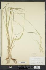 Trisetum melicoides image