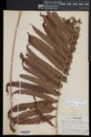 Christella oligophylla image