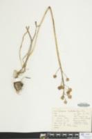 Camassia scilloides image
