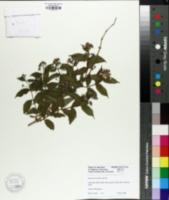 Image of Deutzia corymbosa