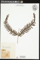 Image of Pteris decurrens
