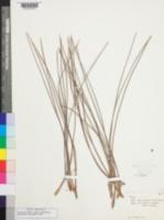 Image of Pinus caribaea