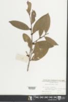Eurya macartneyi image