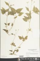 Ageratum conyzoides image