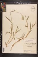 Paspalum pubiflorum image