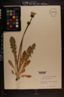 Image of Taraxacum alatum