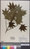 Image of Acer duplicatoserratum