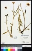 Rudbeckia missouriensis image