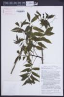 Astronium graveolens image