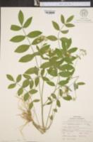 Polemonium reptans var. villosum image