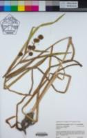 Sparganium eurycarpum var. eurycarpum image
