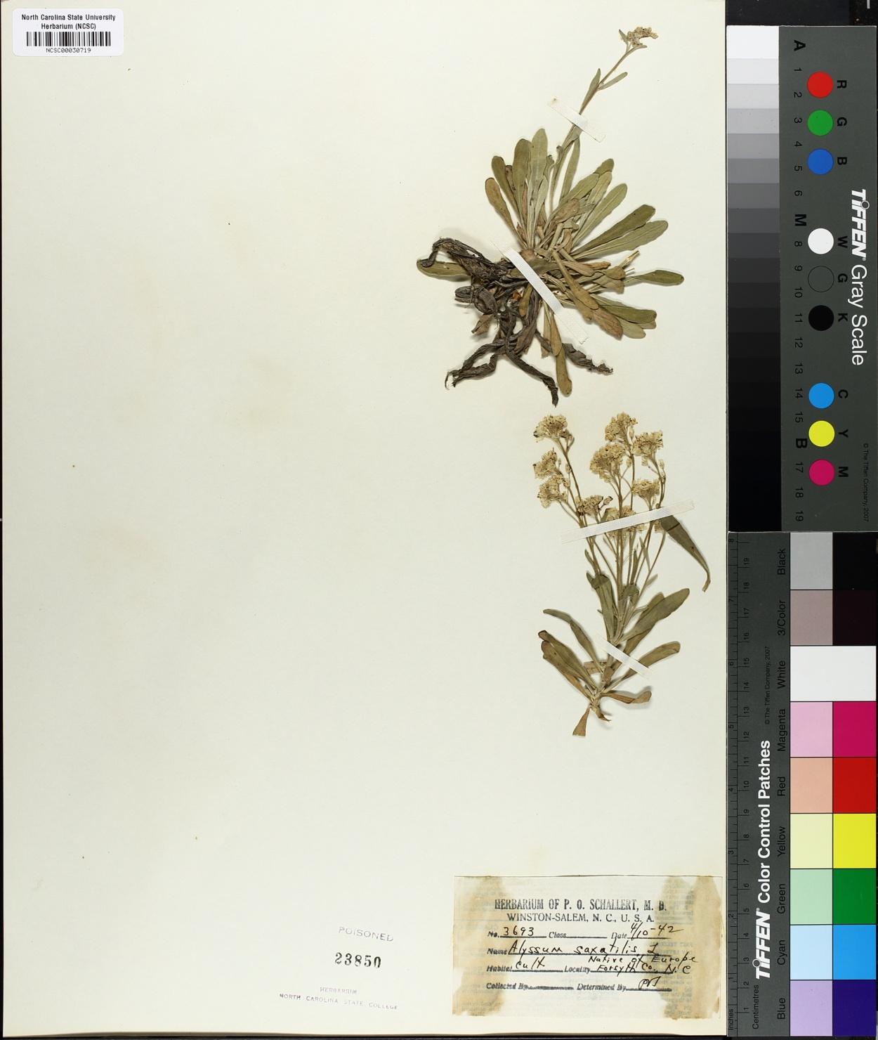 Alyssum saxatilis image