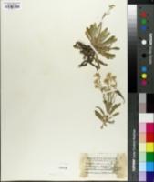 Image of Alyssum saxatilis