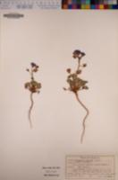 Phacelia nashiana image