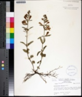 Image of Scutellaria arenicola