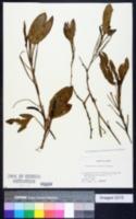 Image of Potamogeton fryeri