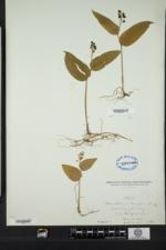 Maianthemum canadense image