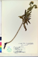 Onosmodium hispidissimum image