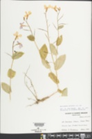 Moricandia arvensis image