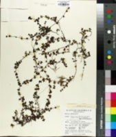 Image of Nertera granadensis