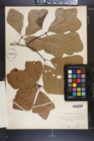 Quercus caput-rivuli image