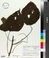 Image of Acalypha caturus