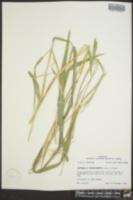Rottboellia cochinchinensis image
