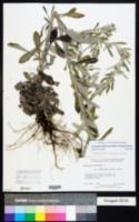 Image of Gamochaeta simplicicaulis