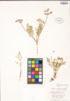 Lomatium plummerae image