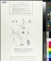 Image of Sagittaria sagittifolia