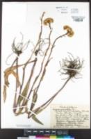 Image of Senecio aronicoides
