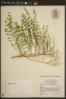 Scutellaria suffrutescens image