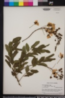 Image of Cassia leptophylla