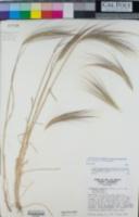 Elymus multisetus image
